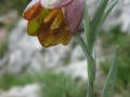 Day 3. snake's head fritillary Pyrenees wild flowers