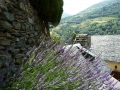 007-lavender-in-a-village