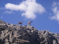 32-pyrenean-chamois-isards
