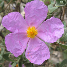 Cathar walking - cistus albidus
